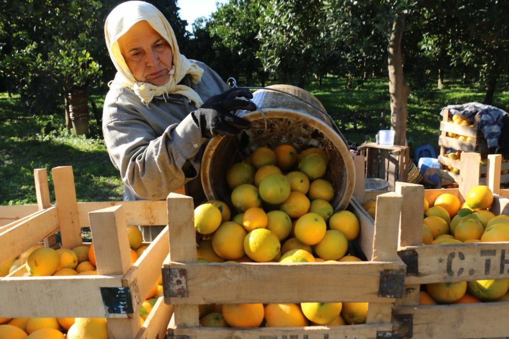 """""""Nazilli Portakalı"""" Irak ve Rusya pazarına ihraç ediliyor 1"""