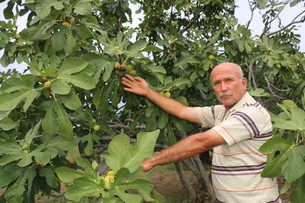 Nazilli'deki sağanak yağış daldaki incire zarar verdi 1