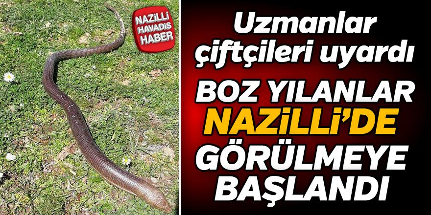 Boz yılanlar Nazilli'de görülmeye başlandı