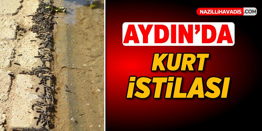 Aydın'da kurt istilası