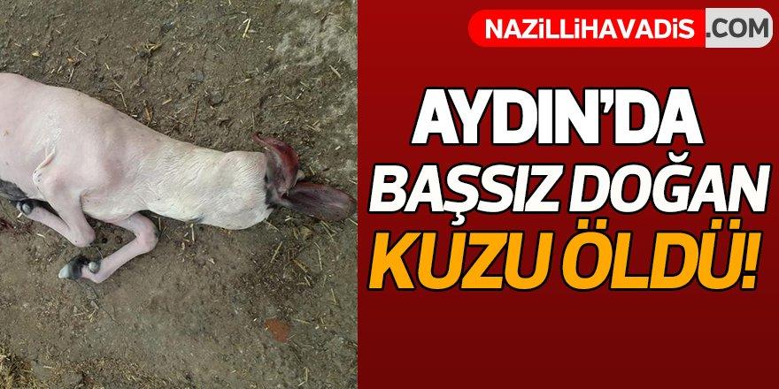 Aydın'da başsız doğan kuzu, öldü