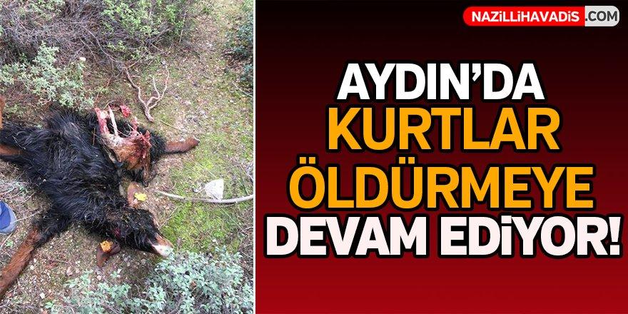 Aydın'da kurtlar öldürmeye devam ediyor!