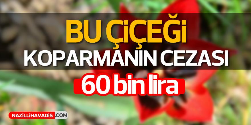 Bu laleyi koparmanın cezası 60 bin lira!