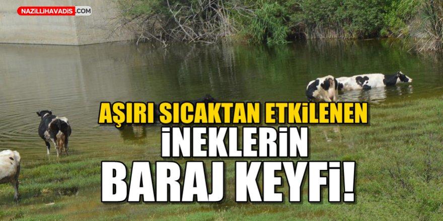 Aşırı sıcaktan etkilenen ineklerin baraj keyfi!