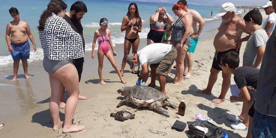 Aydın'da 2 deniz kaplumbağası sahile vurdu