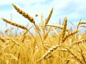 2014'te Tahıl ve Meyve Üretimi Azalacak