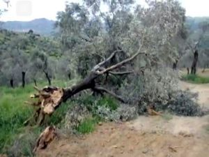"""Dr. Aydın: """"Ölümsüz Ağaçlara ve Yaşama Yapılan Müdahaleleri Kınıyoruz"""""""
