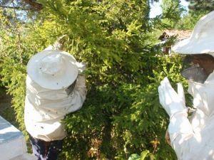 Kovandan Firar Eden Arılar Yakalandı