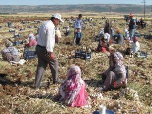 Araban Ovası'ndaki Sarımsak Üretimi 5 Bin Tarım İşçisine İş İmkanı Sağlıyor
