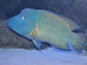 Avrupa'nın En Büyük Napolyon Balığı Aquavega'da