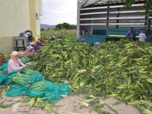 Çine'de şeker mısır hasadı yapıldı