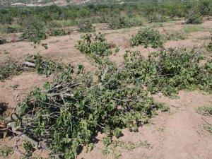 Buharkent'te ağaç katliamı