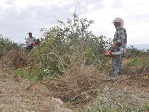 Zarar eden üretici nar ağaçlarını söktü