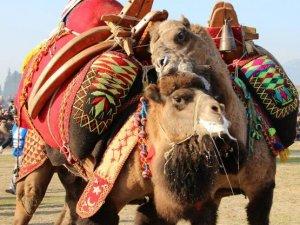 İncirliova'ya Kırkpınar deve güreşleri geri geliyor