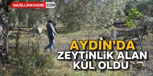 Aydın'da zeytinlik alan kül oldu
