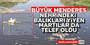 Menderes nehrindeki ölü balıkları yiyen martılar da telef oldu