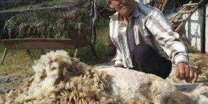 Aydınlı Çobanlar Koyunlarına Bahar Makyajı Yapıyor