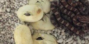 Uysal yılan altız yumurtladı