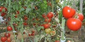 Arılarla domates üretimini artırdı
