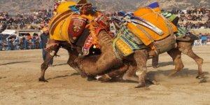 Buharkent deve güreşi yeni arenada düzenlendi