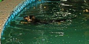 Sıcaktan bunalan köpek havuza atladı