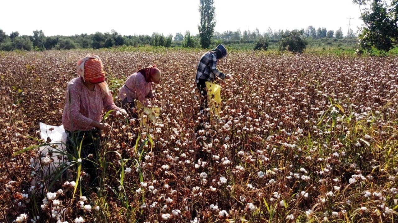 Aydın'da pamuk hasadı başladı