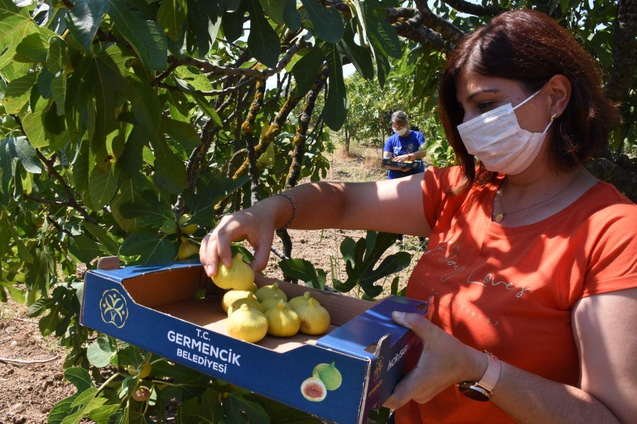 Germencik'te incirin pazarlanması için belediye kolları sıvadı