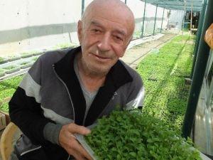 Türkiye'de Şeker Otu Burhaniye'de Üretiliyor